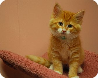 Domestic Mediumhair Kitten for adoption in Lunenburg, Massachusetts - Emma #2