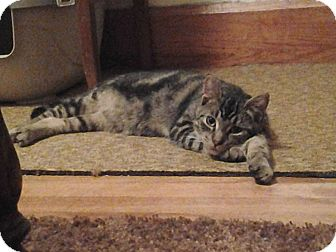 Domestic Shorthair Kitten for adoption in Sterling, Massachusetts - Tigger
