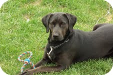 Labrador Retriever/Great Dane Mix Dog for adoption in Sherman, Connecticut - Karma