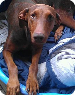 Doberman Pinscher Dog for adoption in Alamosa, Colorado - Mama