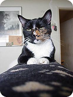 Domestic Shorthair Cat for adoption in Cerritos, California - Daisy