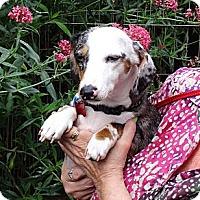 Adopt A Pet :: SILVI - Portland, OR