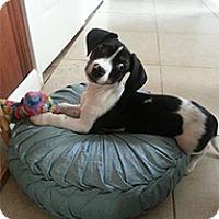 Adopt A Pet :: Duke - Wilmington, MA