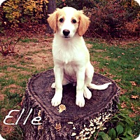 Adopt A Pet :: Elle - Southington, CT