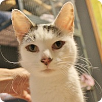 Burmese Cat for adoption in Columbus, Ohio - Dotty