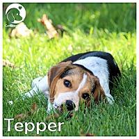 Adopt A Pet :: Tepper - Novi, MI