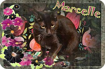 Domestic Shorthair Cat for adoption in Brainardsville, New York - Marcelle
