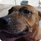 Adopt A Pet :: Honeybunn* - Henderson, NC
