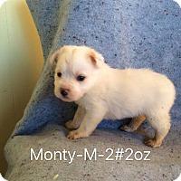 Adopt A Pet :: Monty - Buffalo, NY