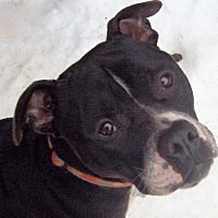 Adopt A Pet :: Ross - Binghamton, NY