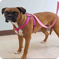 Boxer Dog for adoption in Austin, Texas - Norma Lee