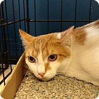 Domestic Shorthair Cat for adoption in Avon, Ohio - Niblet
