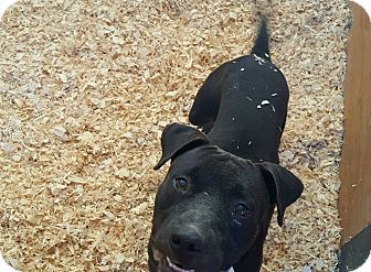 American Pit Bull Terrier Mix Dog for adoption in Livingston Parish, Louisiana - Boomer
