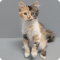 Domestic Mediumhair Cat for adoption in Seguin, Texas - Chalet