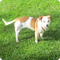 Chihuahua Mix Dog for adoption in Fowlerville, Michigan - Earl- FULLY SPONSORED