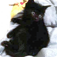Domestic Mediumhair Kitten for adoption in York, Pennsylvania - Ashes