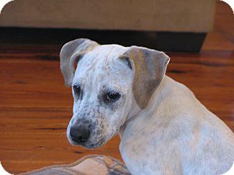 Pointer/Boxer Mix Dog for adoption in Spartanburg, South Carolina - Krew
