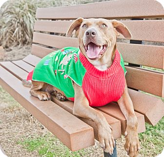 Labrador Retriever/American Staffordshire Terrier Mix Dog for adoption in Houston, Texas - Amber