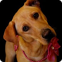 Adopt A Pet :: Polly - Fort Smith, AR
