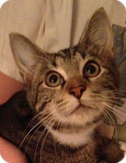 Manx Kitten for adoption in Simpsonville, South Carolina - Jason