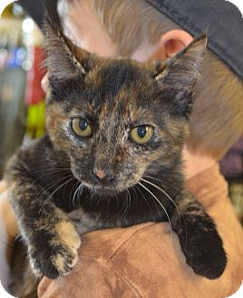 Domestic Shorthair Kitten for adoption in Houston, Texas - Ileana
