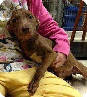 American Staffordshire Terrier/Terrier (Unknown Type, Medium) Mix Puppy for adoption in North Olmsted, Ohio - Bryn