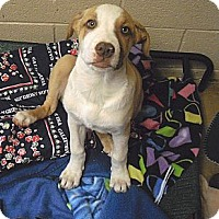 Adopt A Pet :: Dude - Wickenburg, AZ