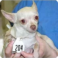 Adopt A Pet :: Christie Cream - Pembroke Pines, FL