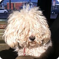 Adopt A Pet :: Cottonball - Van Nuys, CA
