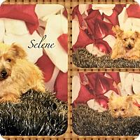Adopt A Pet :: Selene - DOVER, OH
