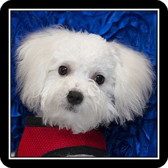 maltese rescue california san diego ca maltese poodle miniature mix meet 130
