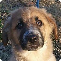 Adopt A Pet :: Zeus - Hagerstown, MD