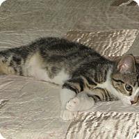 Adopt A Pet :: Garbanzo - Bentonville, AR