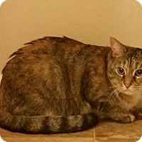 Domestic Shorthair Cat for adoption in Lemoore, California - CoCo