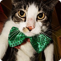 Domestic Shorthair Cat for adoption in Converse, Texas - Miguel
