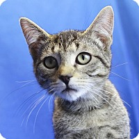 Domestic Shorthair Kitten for adoption in Winston-Salem, North Carolina - Damon