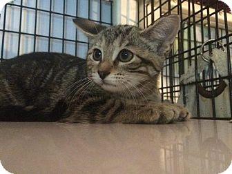 Domestic Shorthair Kitten for adoption in Ann Arbor, Michigan - Mush (semi-feral)
