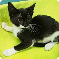 Domestic Shorthair Kitten for adoption in New Orleans, Louisiana - Nymeria