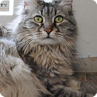 Domestic Longhair Cat for adoption in Spokane, Washington - Cleo