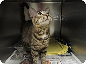 Domestic Shorthair Cat for adoption in Windsor, Virginia - Sister
