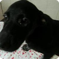 Adopt A Pet :: Crystal - Clarksville, AR
