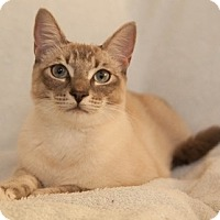 Domestic Shorthair Cat for adoption in Fremont, California - Amber 04-4039