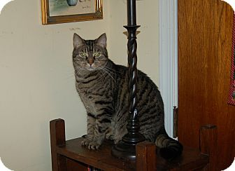 Domestic Shorthair Cat for adoption in Great Mills, Maryland - Isabella