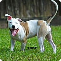 Pit Bull Terrier Mix Puppy for adoption in Calgary, Alberta - Tink **Courtesy Post**