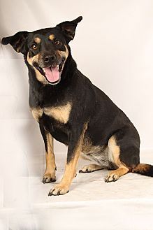 Rottweiler/Labrador Retriever Mix Dog for adoption in St. Louis, Missouri - Harley Girl RottiLab