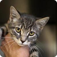 Domestic Shorthair Kitten for adoption in Bryan, Texas - Eevee