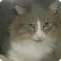 Domestic Longhair Cat for adoption in Gloucester, Virginia - BALTHAZAR