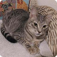 Adopt A Pet :: Silver - Glendale, AZ