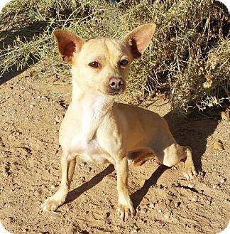 Dachshund/Chihuahua Mix Dog for adoption in Albuquerque, New Mexico - LITTLE Rikki ~ Chiweenie