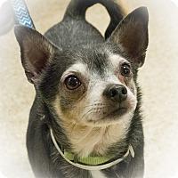 Adopt A Pet :: Apollo - Loudonville, NY